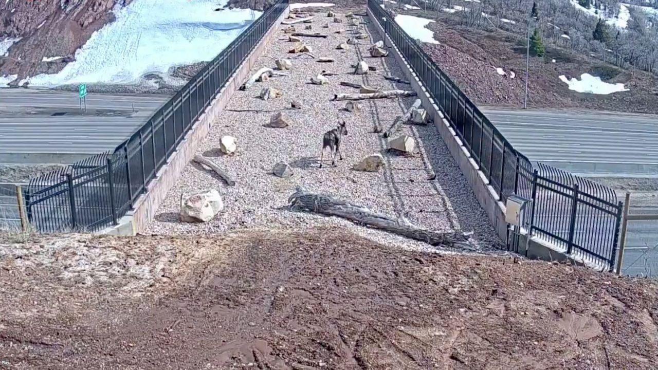 Le autostrade danneggiano l'habitat di molti animali, ma lo Utah ha la soluzione