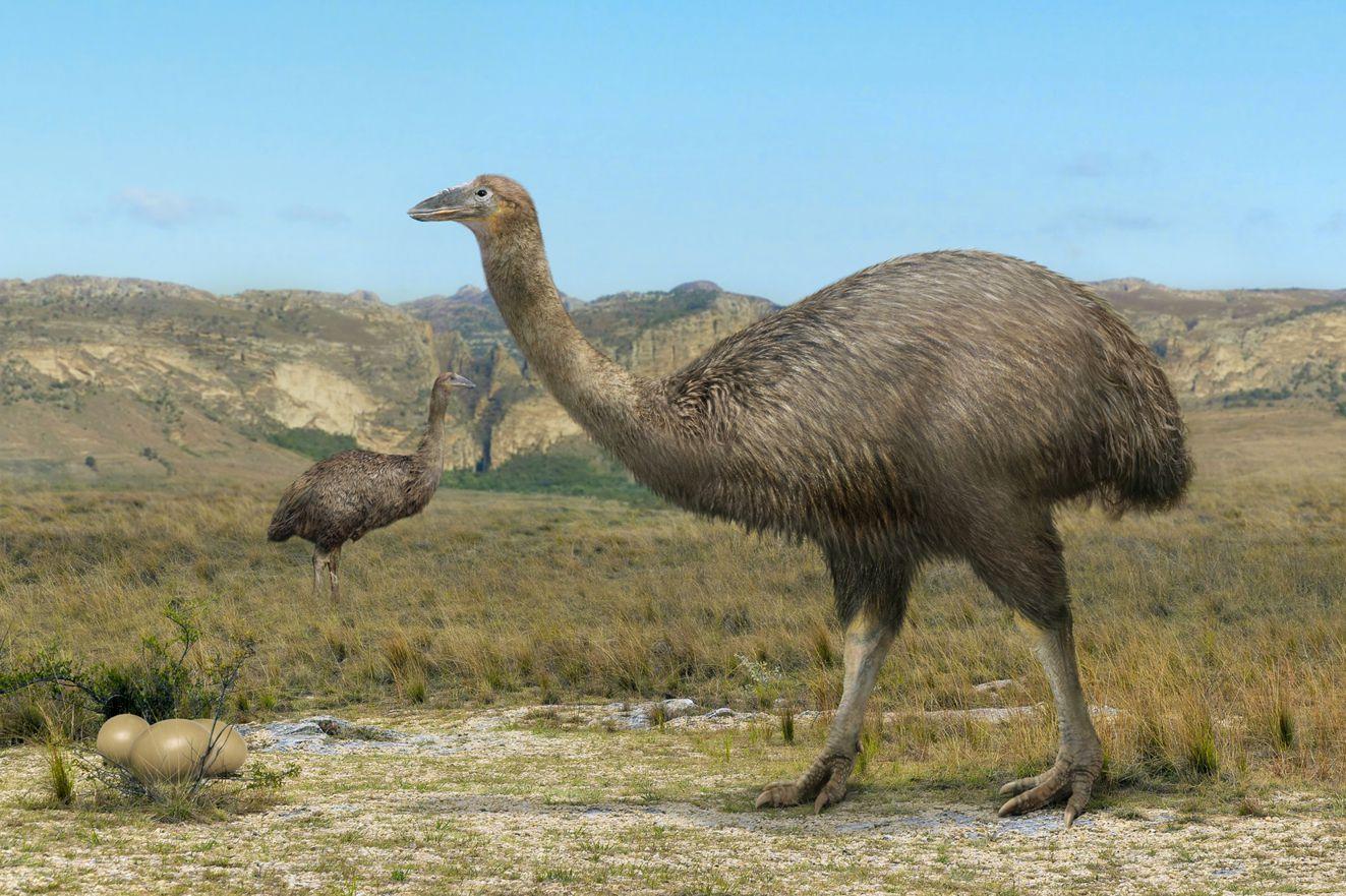 Le più grandi uova ritrovate sono quelle dell'Aepyornis, l'uccello ...
