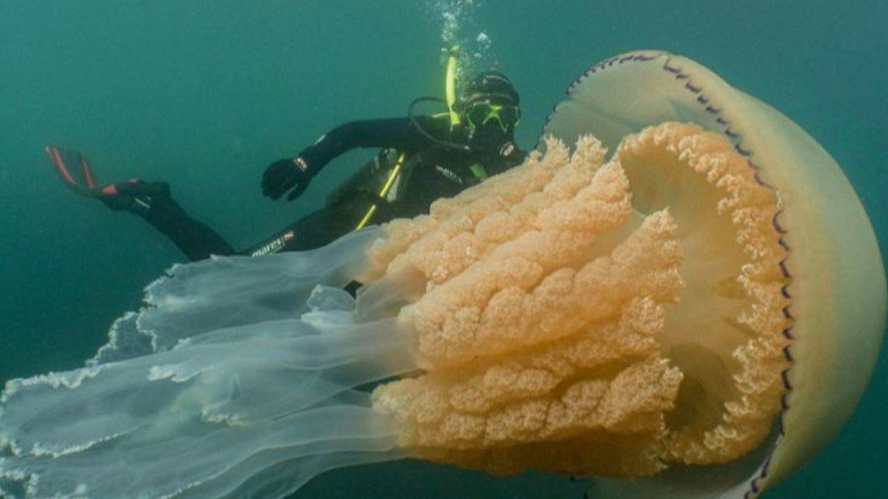 Medusa gigante, più grande di un uomo, fotografata lungo le coste del Regno Unito