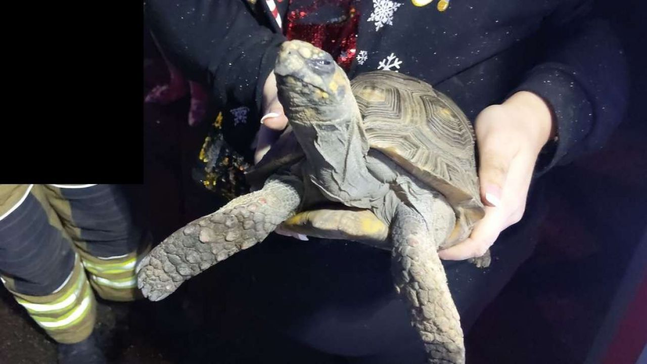 Miracolo di Natale: una tartaruga scontrosa appicca un incendio ma viene salvata