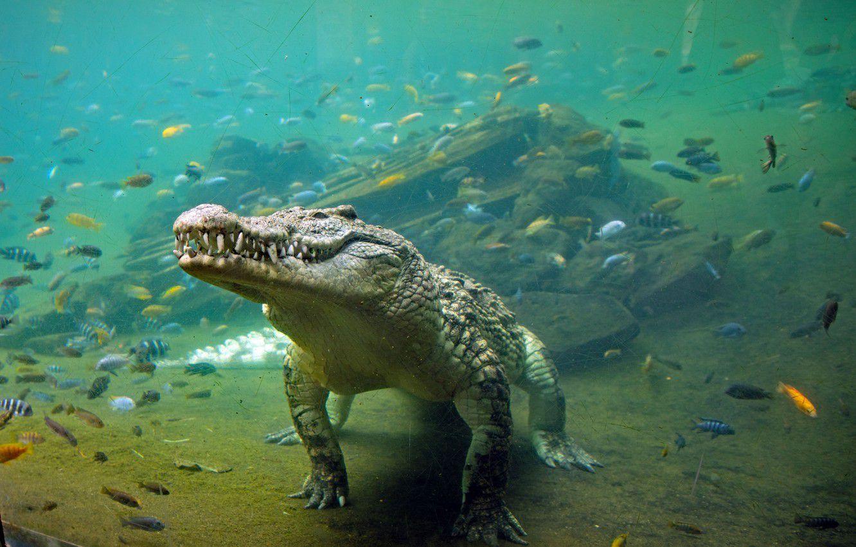 Perché i coccodrilli sono cambiati così poco dall'epoca dei dinosauri?