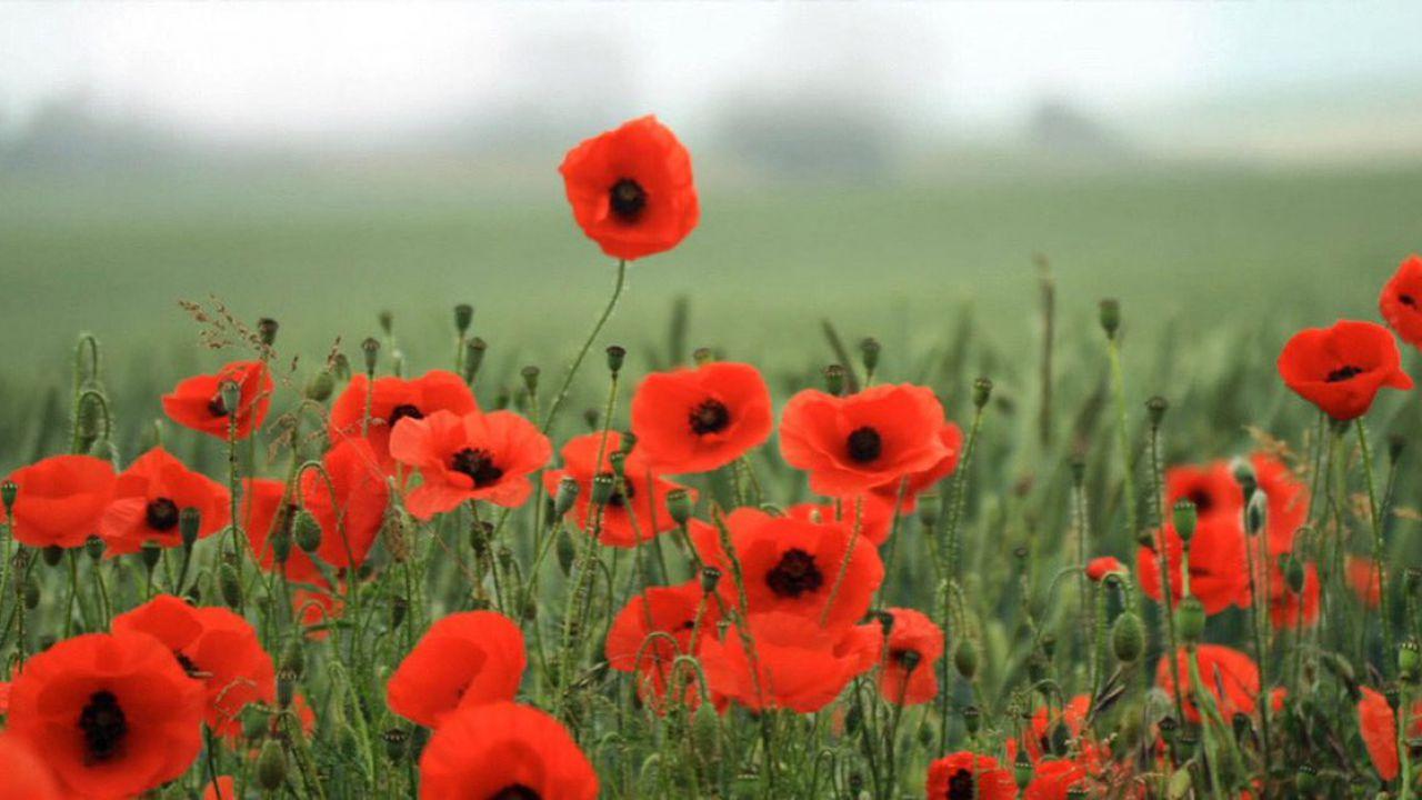 Perché il simbolo del Giorno della Memoria è un papavero rosso?