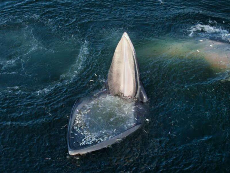 Queste balenottere hanno una nuova strategia per cibarsi in acque inquinate