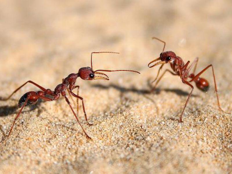 Queste formiche utilizzano un metodo geniale per evitare di affogare