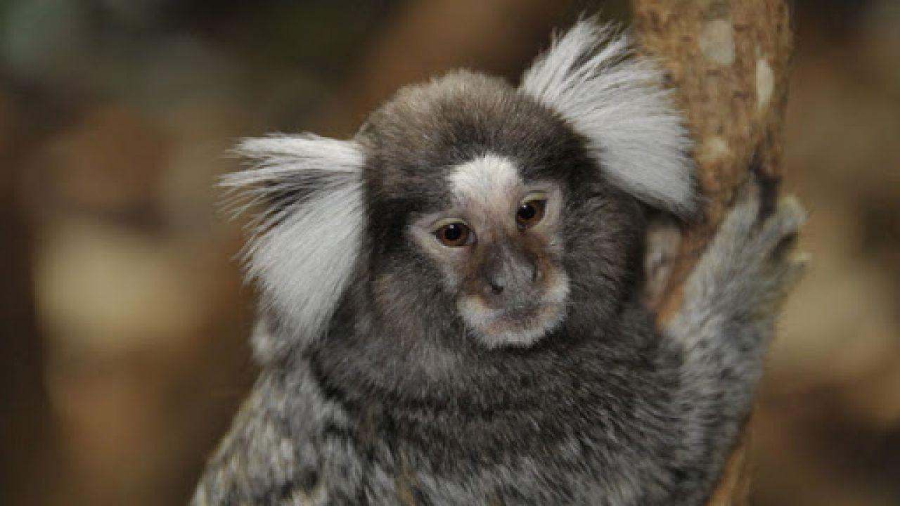Queste piccole scimmie, come gli esseri umani, potrebbero essersi auto-addomesticate