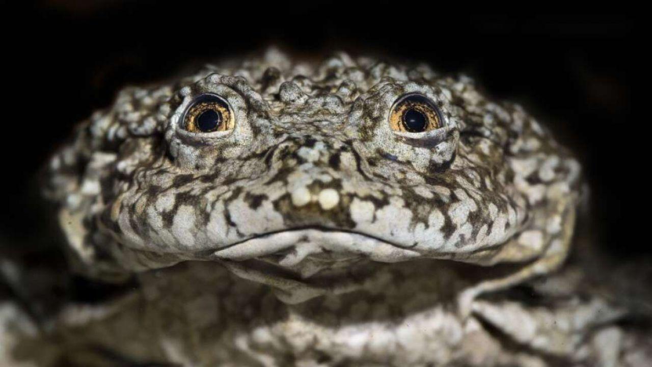 Queste rane giganti sono in pericolo a causa dell'uomo ma la scienza è pronta ad aiutarle