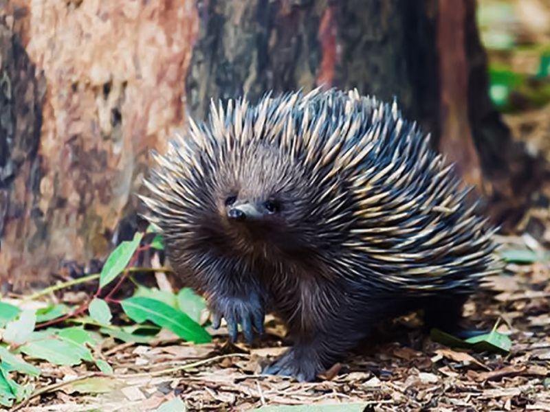 Questi mammiferi australiani tengono a bada il surriscaldamento globale, inconsapevolmente