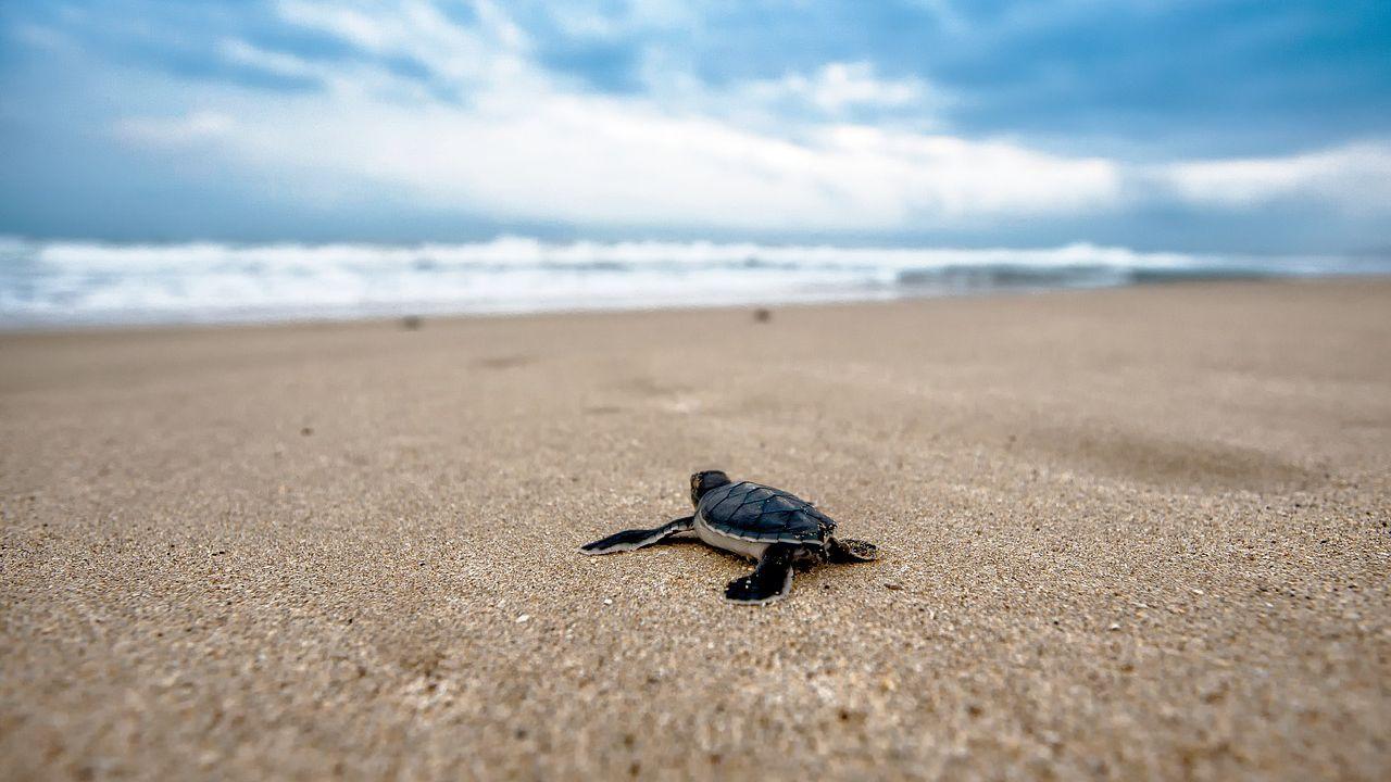 Questo modello svela dove si dirigono le piccole tartarughe una volta raggiunto il mare