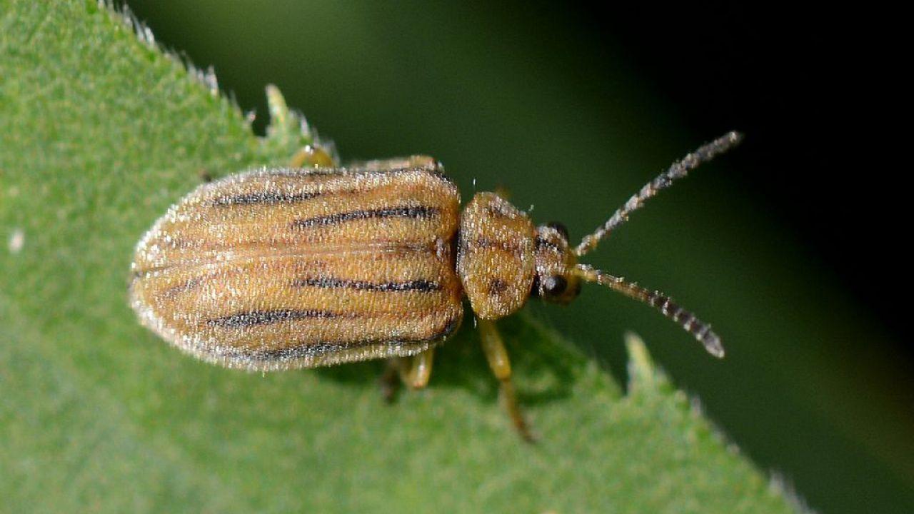 Questo piccolo scarabeo potrebbe proteggere milioni di persone dall'allergia al polline