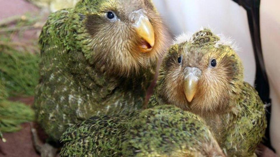 Questo raro pappagallo si è salvato dall'estinzione grazie all'incesto