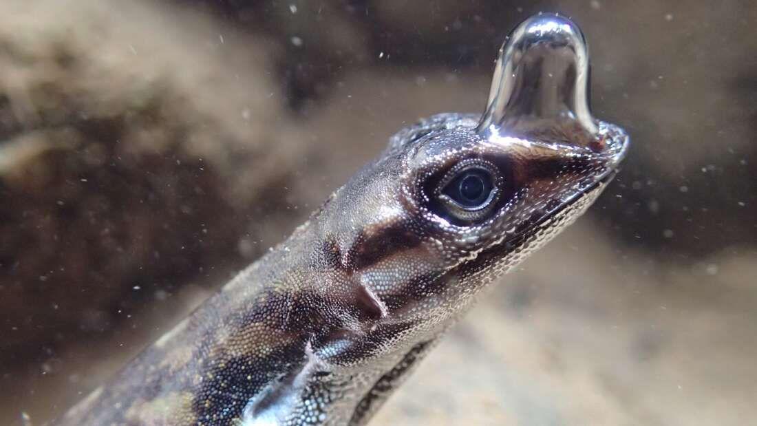 Questo rettile utilizza un metodo mai visto prima per respirare sott'acqua