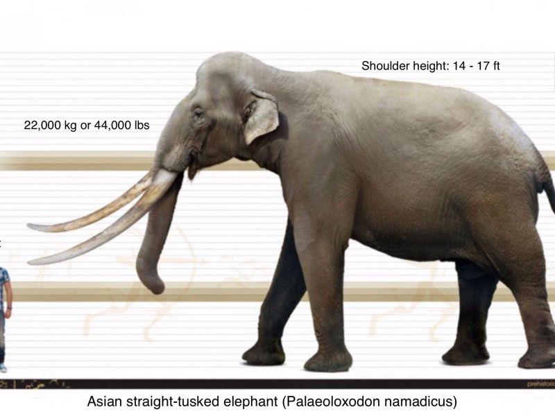 Resti di elefanti estinti di 300.000 anni sono stati scoperti in Germania