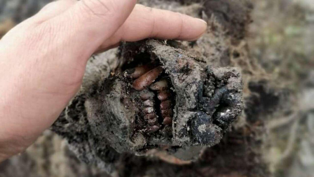 Ritrovati in Siberia i resti di un orso di 22.000 anni fa perfettamente conservati
