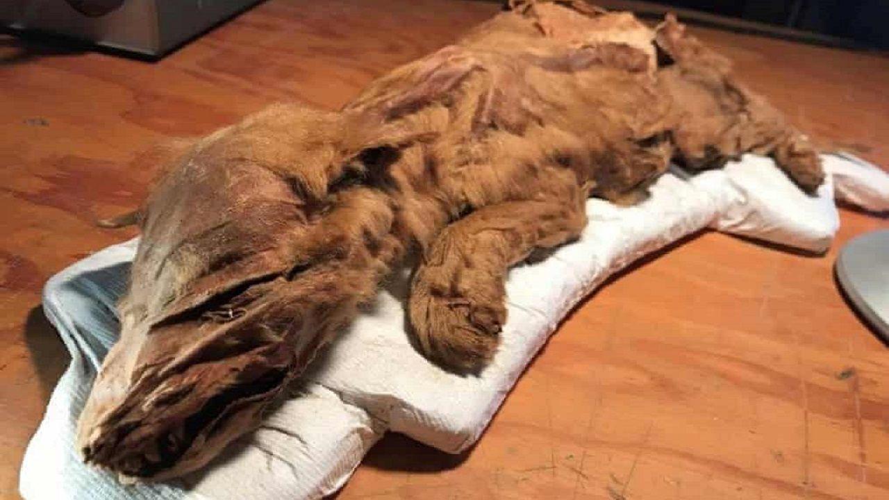 Ritrovato un lupo di 50.000 anni fa ben conservato: il permafrost continua a stupire