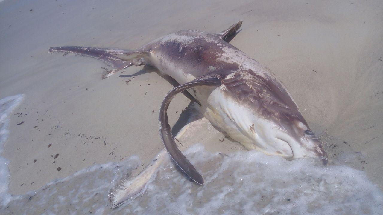 Ritrovato su una spiaggia il cadavere di uno squalo ucciso da un pesce spada: ecco come