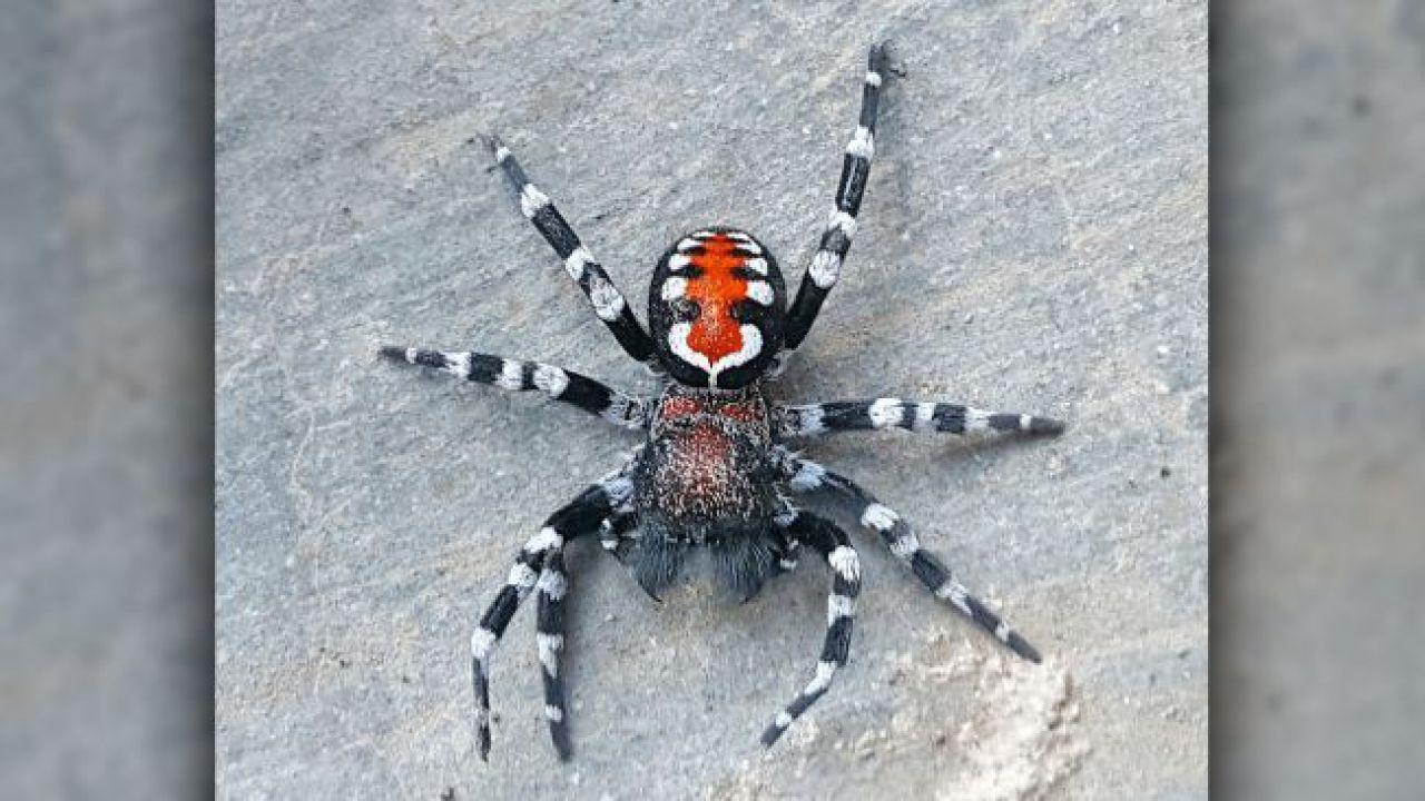 Scoperta una nuova specie di ragno di velluto che ricorda i colori del Joker di Batman