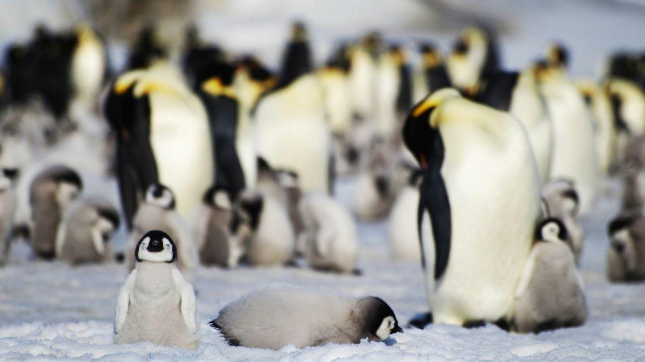 Scoperte delle colonie nascoste di pinguini imperatori grazie ai satelliti... e alle feci