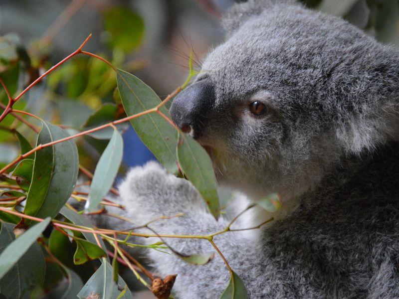 Scoperto il curioso modo con cui i Koala... Bevono!