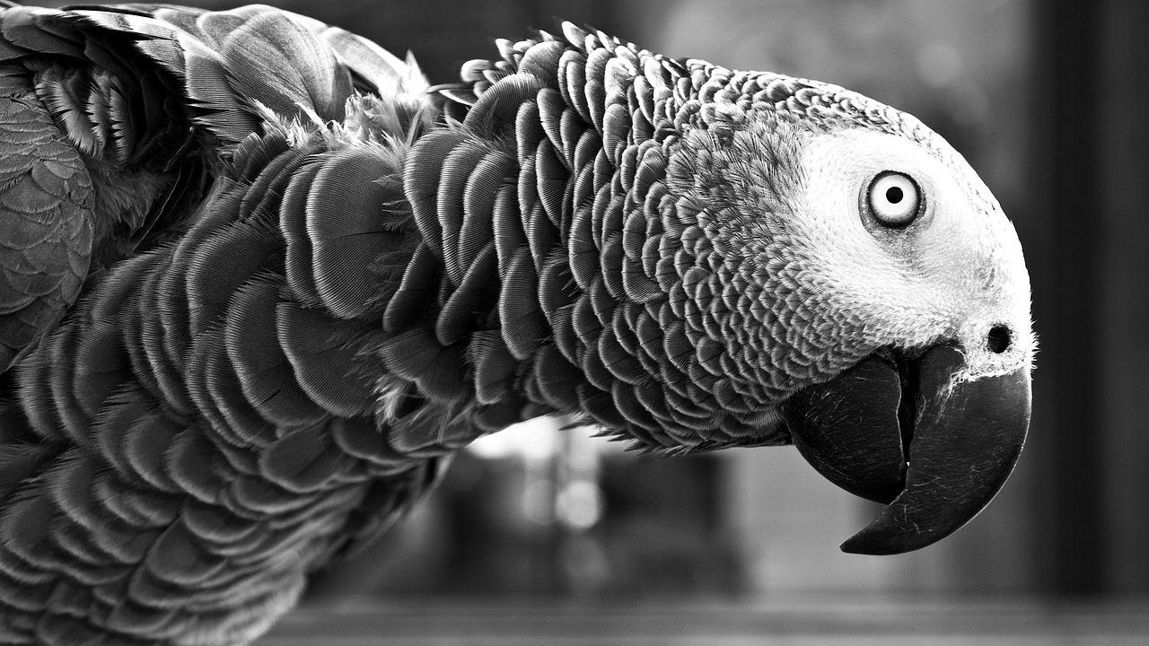 Secondo uno studio i pappagalli sono campioni di altruismo