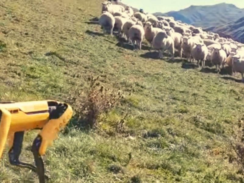 Spot di Boston Dynamics tuttofare: ora sta allevando delle pecore in Nuova Zelanda!