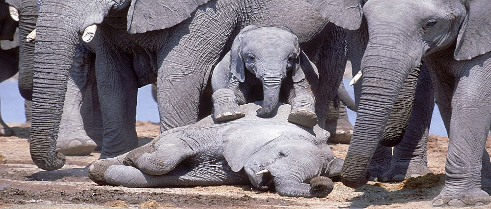 """Studiate le interazioni uniche degli elefanti verso i morti. Risultati da """"pelle d'oca"""""""
