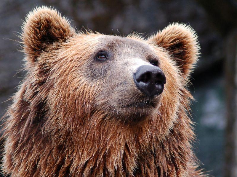 Trentino Alto Adige: l'orso chiamato M49 in fuga per i boschi