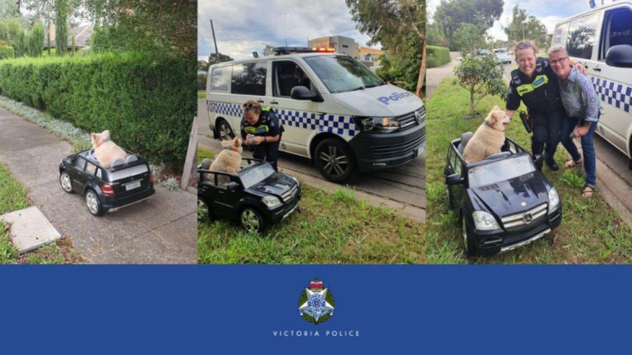 Un cane è stato fermato dalla polizia mentre era alla guida di una mini Mercedes