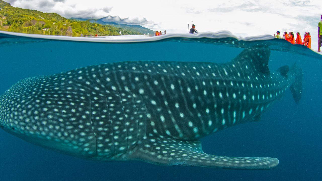 Un insolito incontro con uno squalo balena, una creatura più grande dello squalo bianco