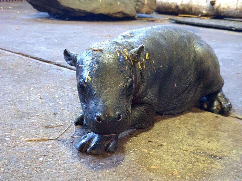 Un raro esemplare di ippopotamo pigmeo è nato recentemente in uno zoo del Regno Unito