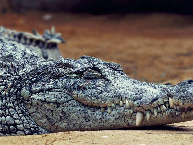 Una colonia di coccodrilli vive all'interno dei canali di una centrale nucleare