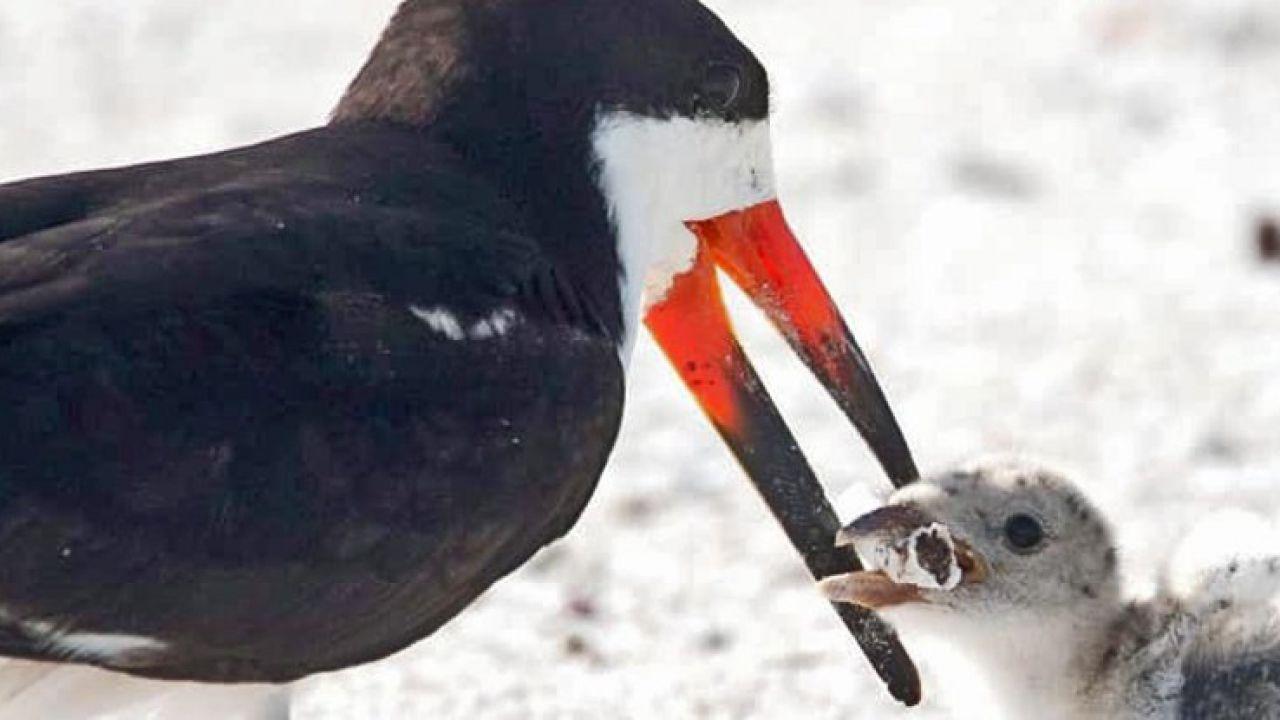 Una straziante foto diventata virale: un uccello che sfama il piccolo con una cicca